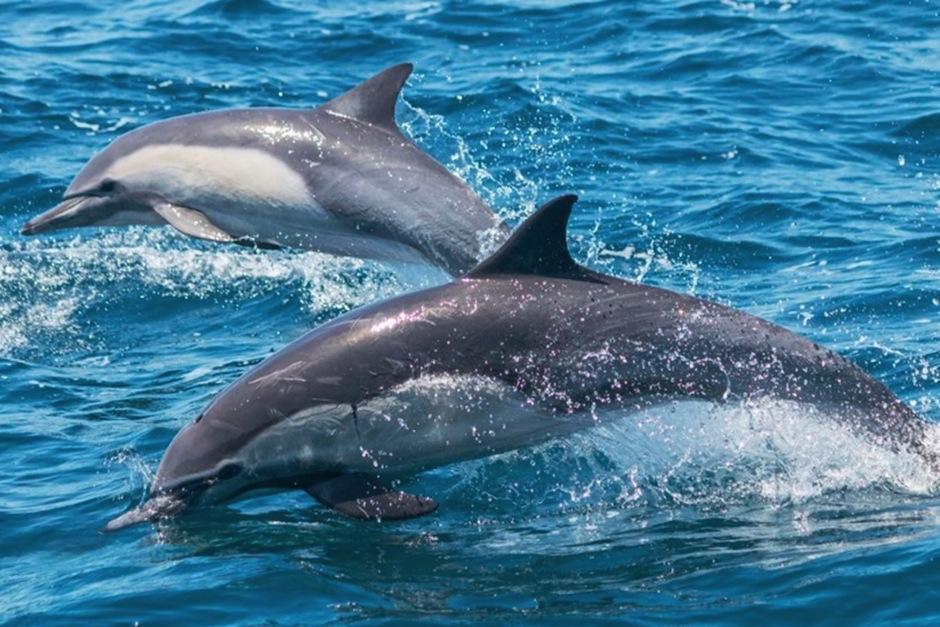 Manada de delfines sorprende a su paso en el mar de California