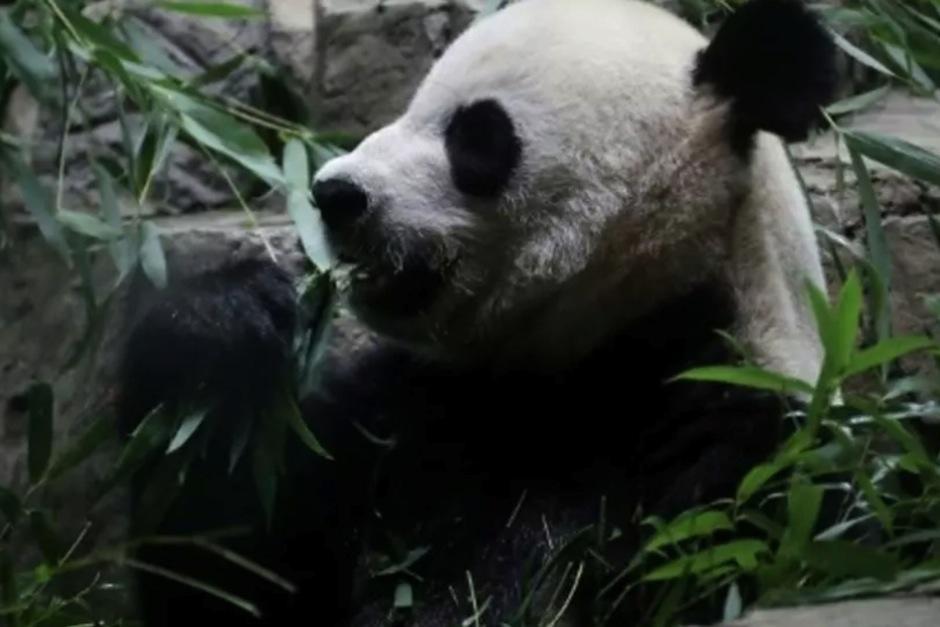 Transmiten en vivo el nacimiento de un cachorro panda