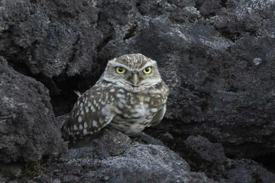 Durante una jornada de avistamiento de aves en el volcán Pacaya, se logró divisar a esta especie. (Foto: Juan Pablo Ligorria/Pajareros Guatemala)