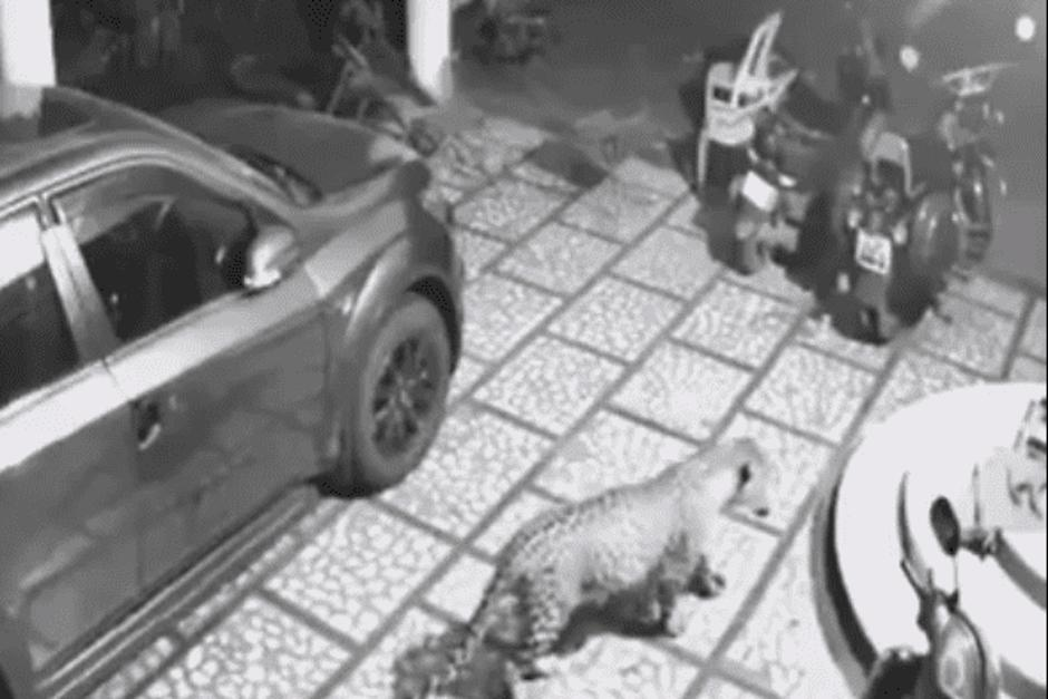 Un perro fue atacado por un jaguar dentro de una casa. (Foto:  Captura de video)