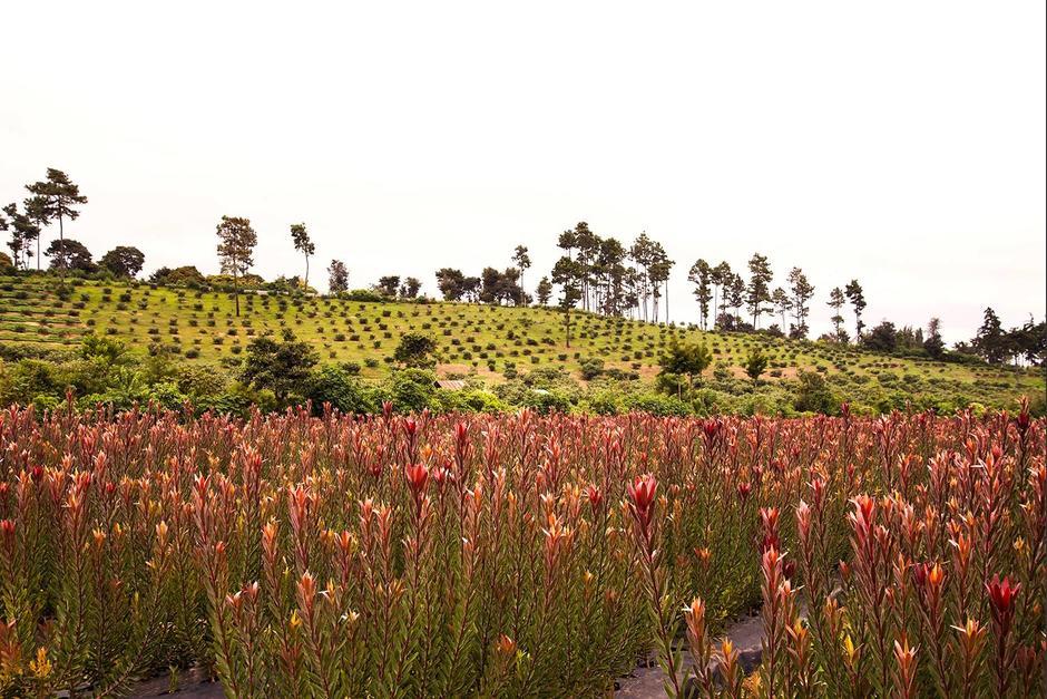 Las flores ornamentales que produce Inversiones Eterna Primavera son únicas en la región. (Foto: Inversiones Eterna Primavera)