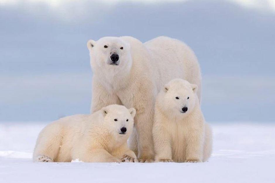 Los osos ahora ayunan más tiempo, están más delgados y tienen menos cachorros (Foto: osos10.net)