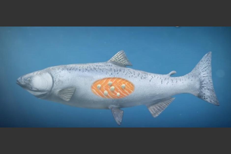 Vive en el tejido del salmón (Foto IbTimes)