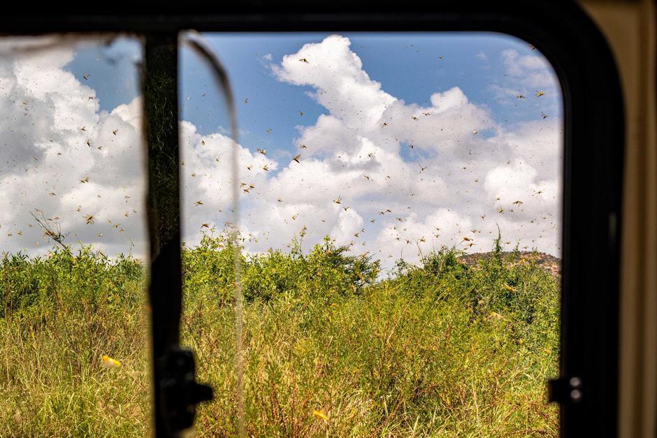 El Ministerio de Agricultura de Guatemala advirtió que una plaga de langostas afectará a las siembras. (Imagen con fines ilustrativos. Foto: Shutterstock)
