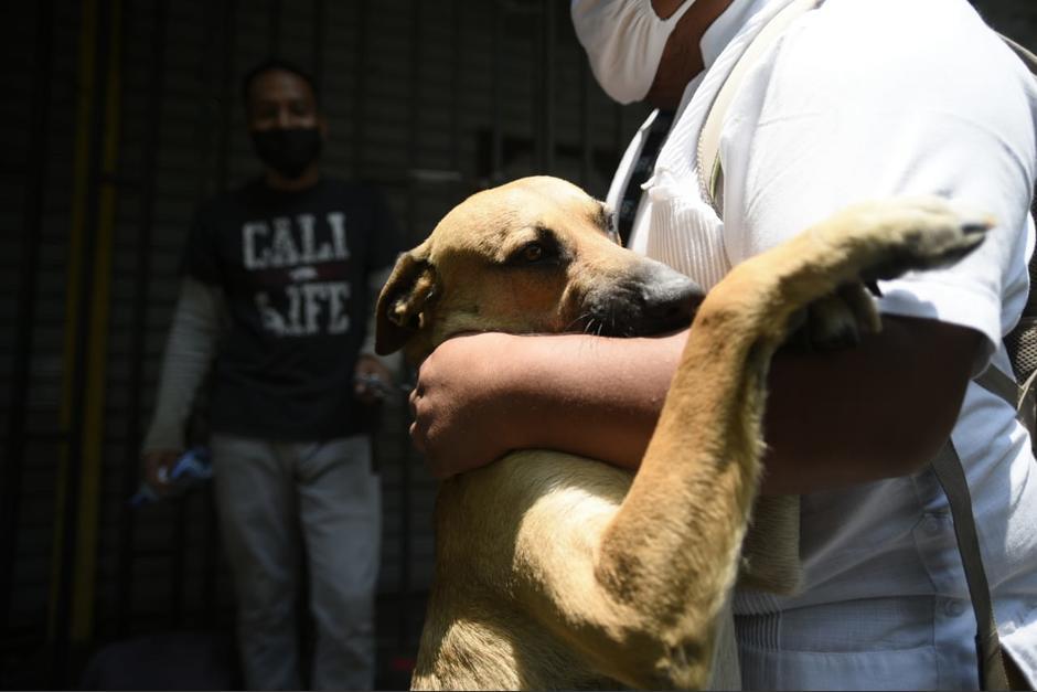 El perro es amigable y se deja acariciar por todos. (Foto: Wilder López/Soy502)