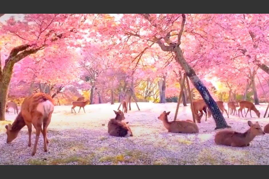 Ciervos toman parque en Japón. (Foto Noticieros Televisa)