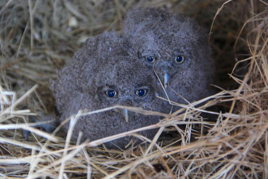 Dos polluelos de búho que fueron rescatados en Santa Rosa se recuperan y su rehabilitación parece un éxito. (Foto: Fredy Hernández/Soy502)