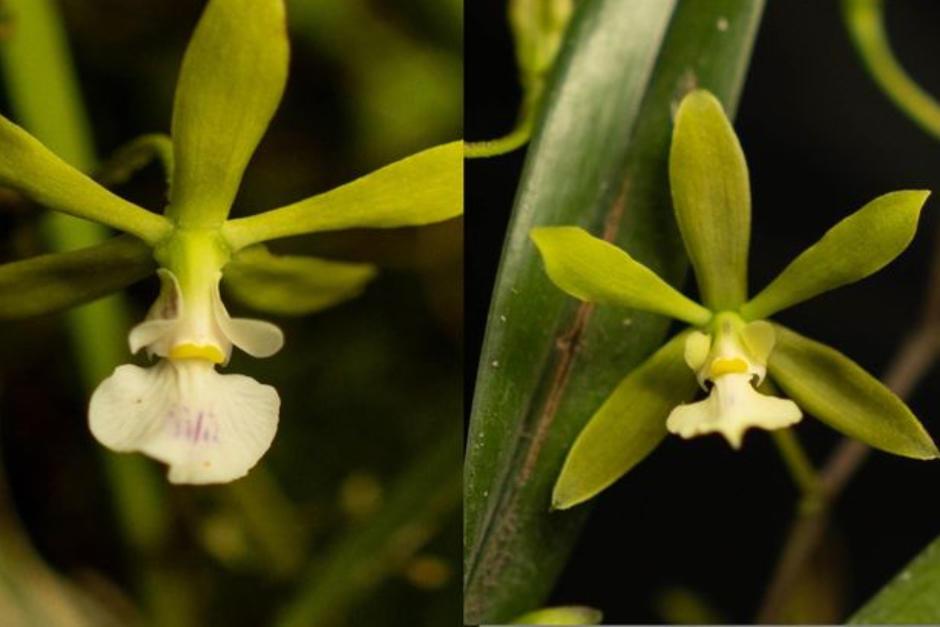 La orquídea fue encontrada en Alta Verapaz. (Foto: Fredy Archila Morales)