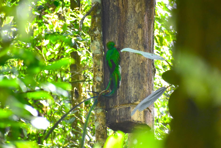 Durante esta época, estas aves inician con la construcción de los nidos. (Foto: Fredy Hernández/Soy502)