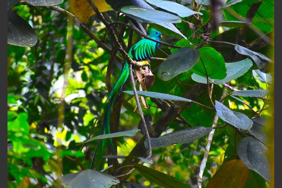 Varios ejemplares de quetzal se pueden observar en el bosque nuboso de Esquipulas Palo Gordo, San Marcos. (Foto: Fredy Hernández/Soy502)