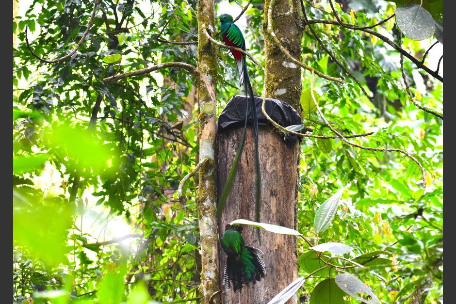 Guardarrecursos del CONAP han impulsado un programa de nidos artificiales. (Foto: Fredy Hernández/Soy502)