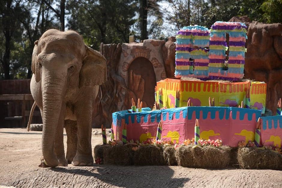 Trompita cumplió 60 años y el Zoológico La Aurora lo celebró a lo grande. (Foto: Wilder López/Soy502)