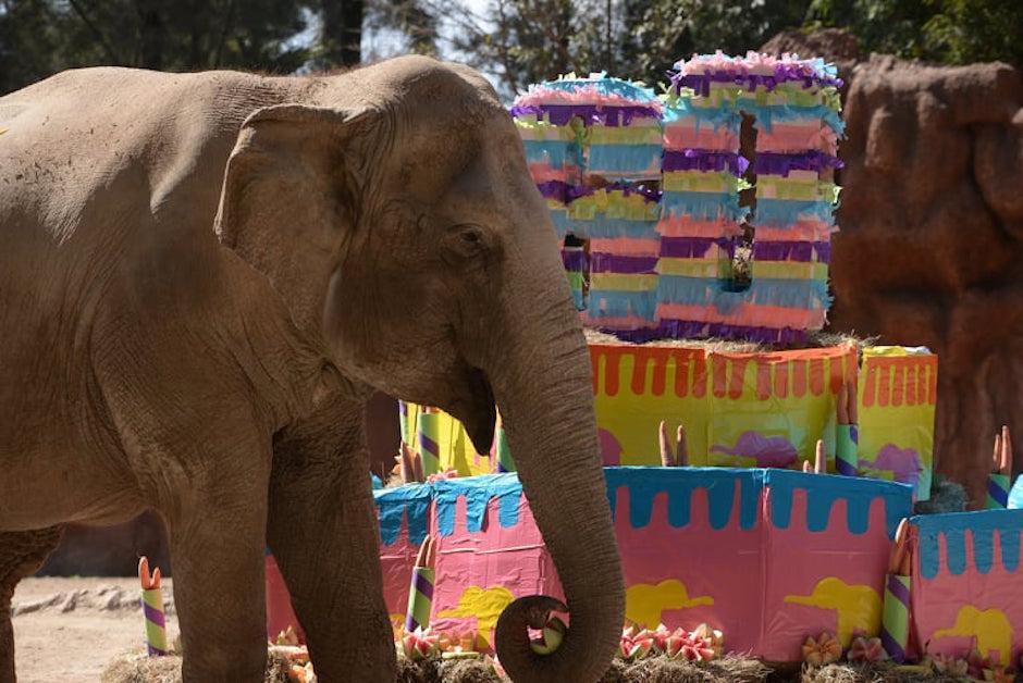 Trompita es una elefanta noble y disfrutó su celebración.  (Foto: Wilder López/Soy502)