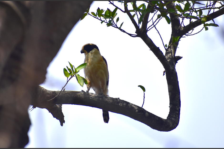 Un halcón reidor, guaco, o vaquero, descansa en la rama de uno de los árboles de la finca. (Foto: Fredy Hernández/Soy502)