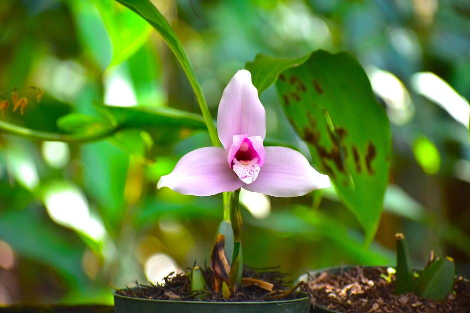La Lycaste virginalis forma alba originalmente es rosada. (Foto: Fredy Hernández/Soy502)