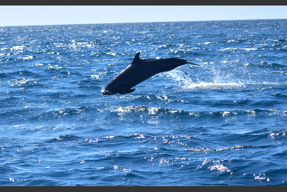 Lo delfines son habitantes regulares en las aguas del Pacífico. (Foto: Fredy Hernández/Soy502)
