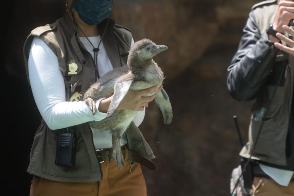 El bebé pingüino fue presentado este lunes 10 de mayo. (Foto: Wilder López/Soy502)