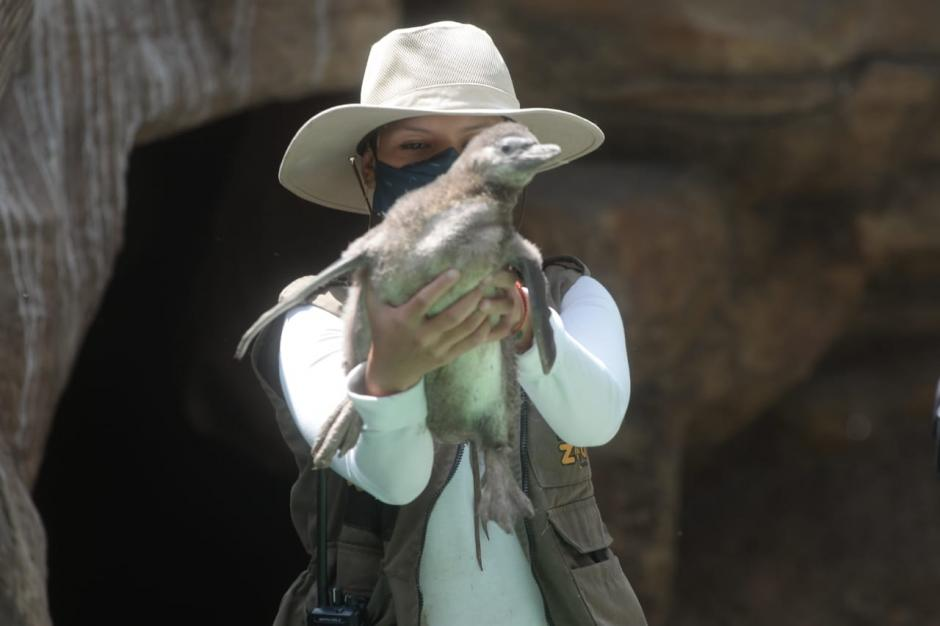 El pingüino nació el pasado 13 de marzo en el Zoológico La Aurora. (Foto: Wilder López/Soy502)