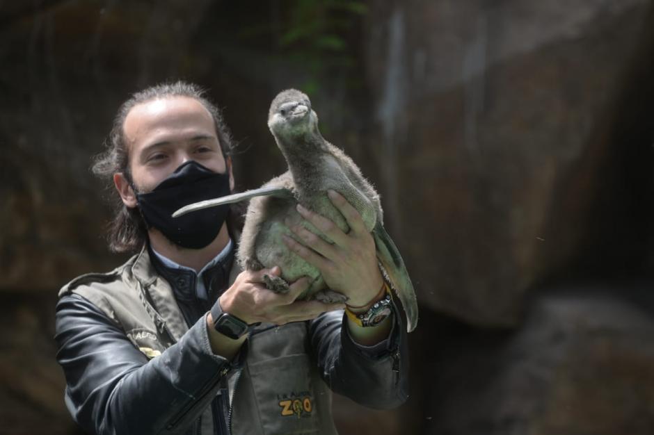 Es el primer pingüino nacido en cautiverio en Guatemala. (Foto: Wilder López/Soy502)