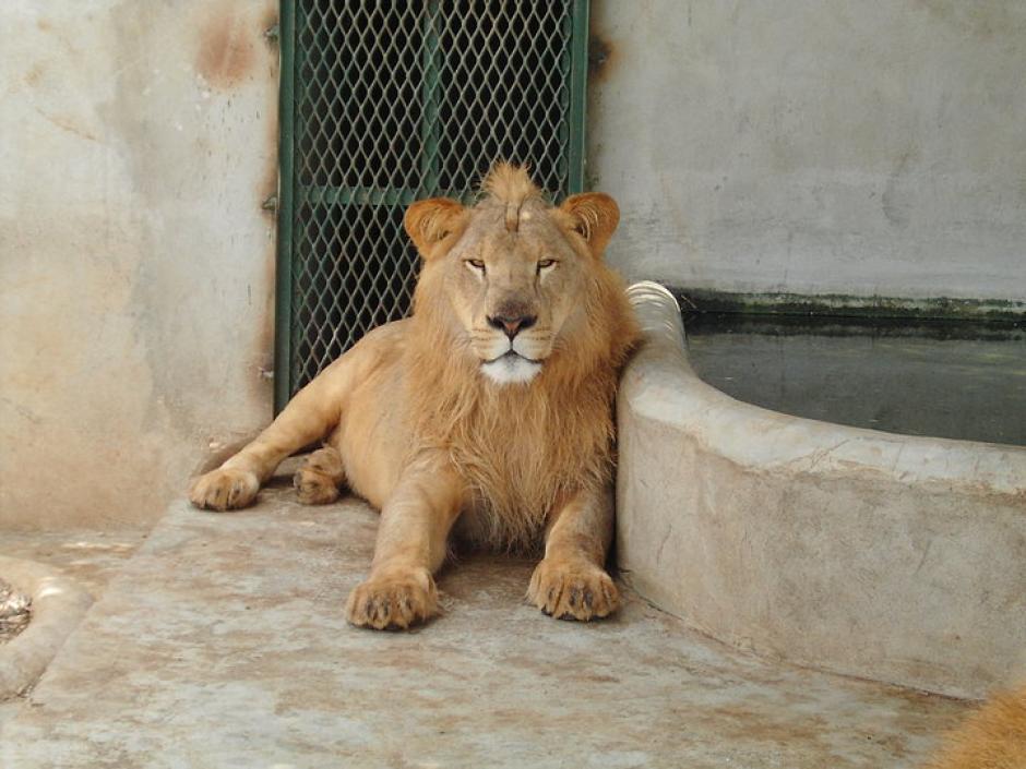 El Conap informó que la colección privada de Obdulio Mendoza registra 3 leones africanos. (Foto: Facebook)
