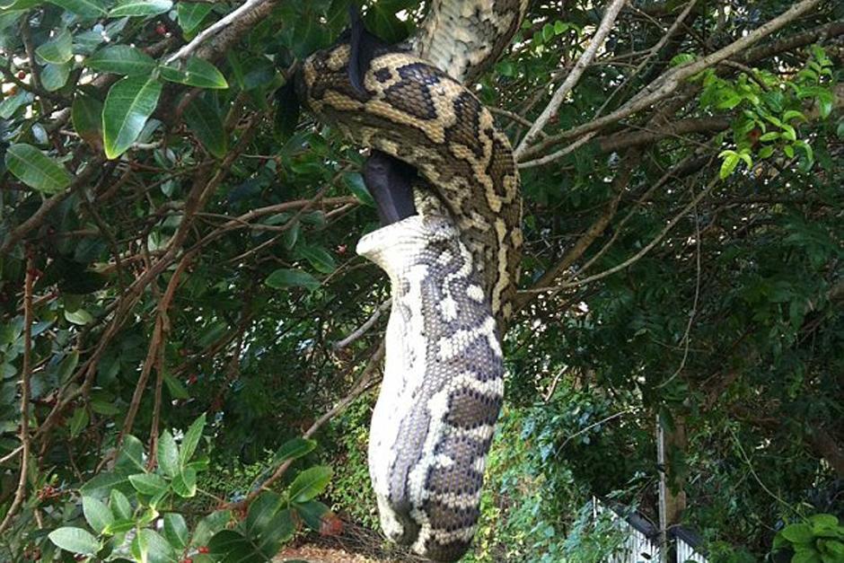 La pareja captó a la serpiente colgando de un árbol.