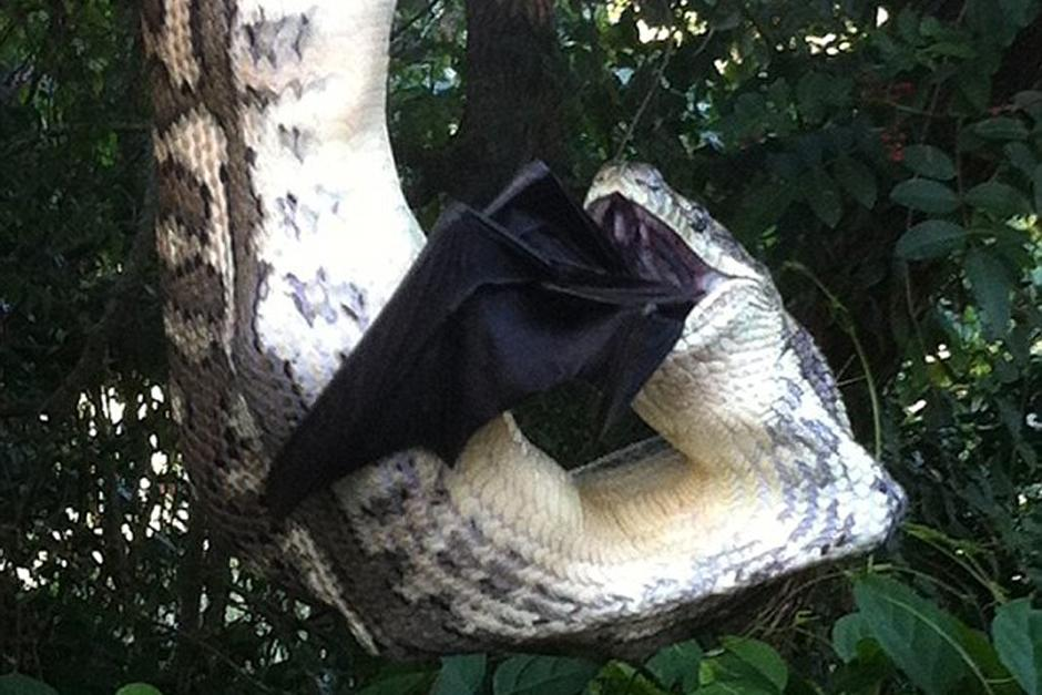 La serpiente se acomodó hasta que pudo asfixiar al murciélago para después tragárselo