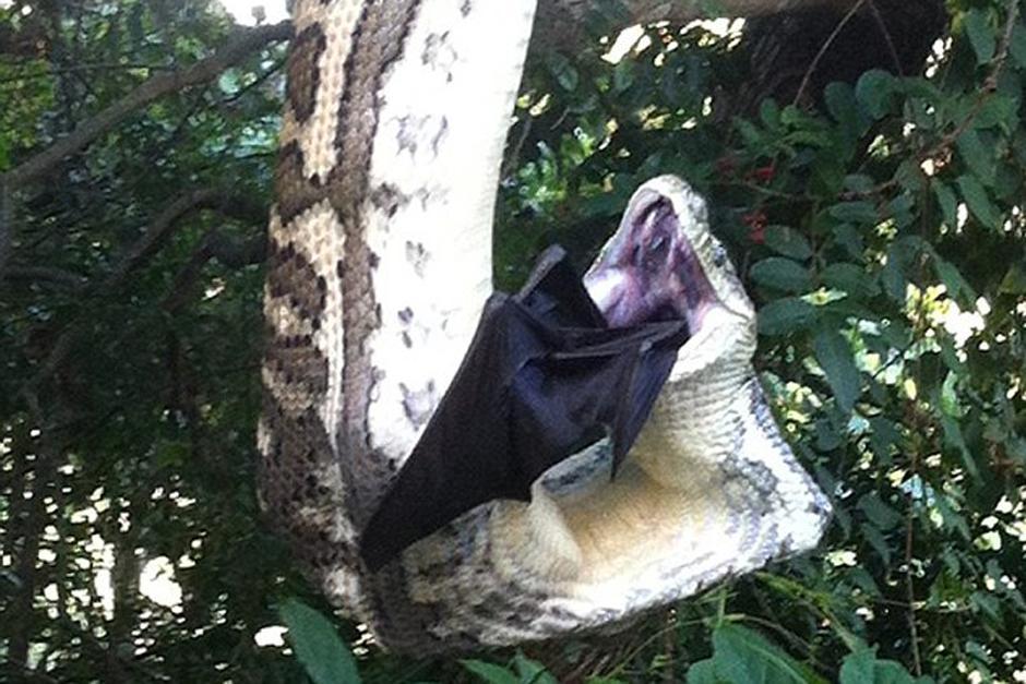 Una pitón fue captada en Australia mientras se devoraba a un murciélago gigante