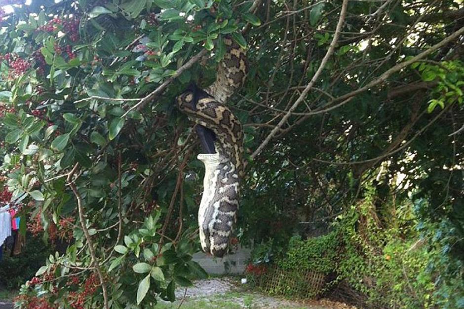 La enorme serpiente tardó unos 30 minutos en devorar al murciélago