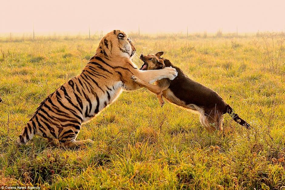 Según los trabajadores del parque, los tigres y los perros son inseparables.(Foto: DailyMail)