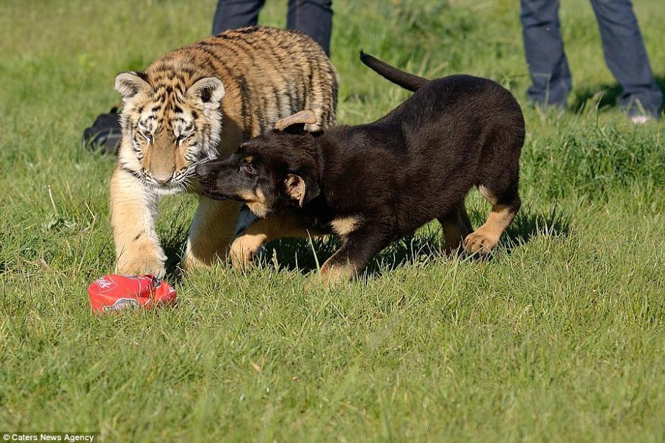 El tigre Suria nació en la reserva de vida silvestre en Eslovaquia hace unos dos años y creció junto a los pastores alemanes. (Foto: DailyMail)