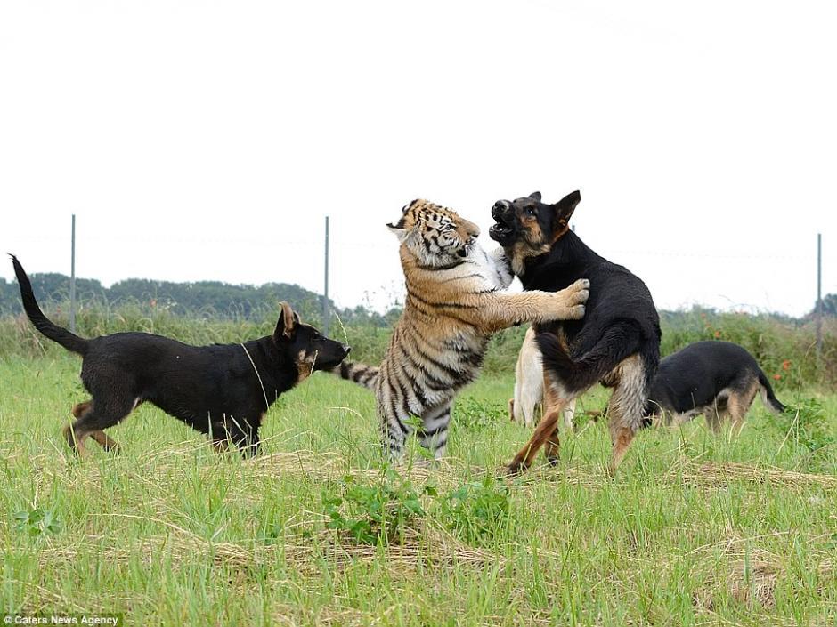 Los perros y el tigre disfrutan jugando, pero nunca causan ningún daño el uno al otro. (Foto: DailyMail)