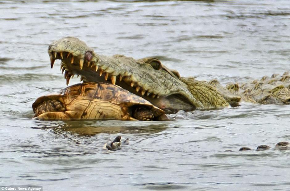El cocodrilo la atrapó entre sus fauces y no la dejó ir. (Foto: dailymail.co.uk)