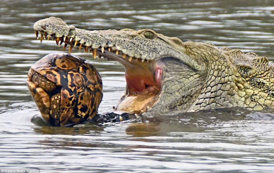 La tortuga utilizó su mejor mecanismo de protección: entrar en su caparazón. (Foto: dailymail.co.uk)