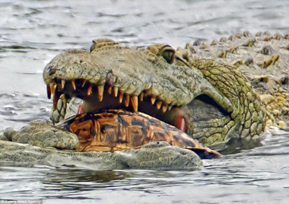 Un cocodrilo fue captado devorando a una tortuga en un parque de Sudáfrica. (Foto: dailymail.co.uk)