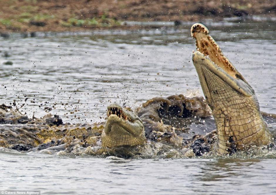 Varios cocodrilos llegaron a tratar de quedarse con la tortuga. (Foto: dailymail.co.uk)