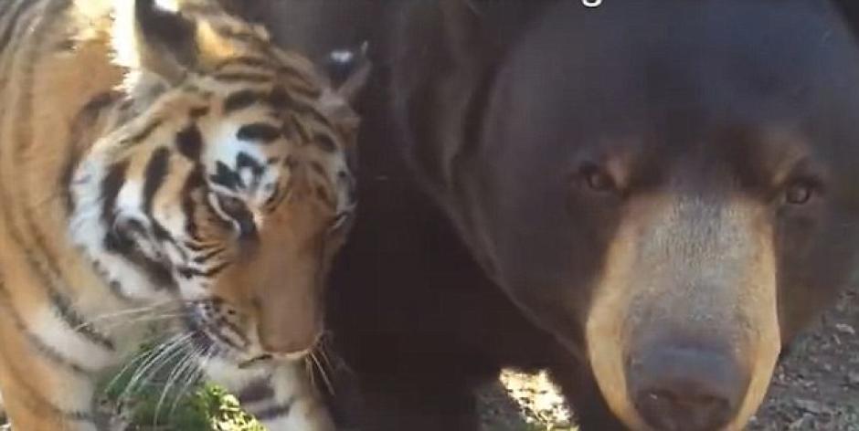 Cuando el oso se acerca a la cámara el tigre soba su cabeza contra su pansa. (Foto: Daily Mail)