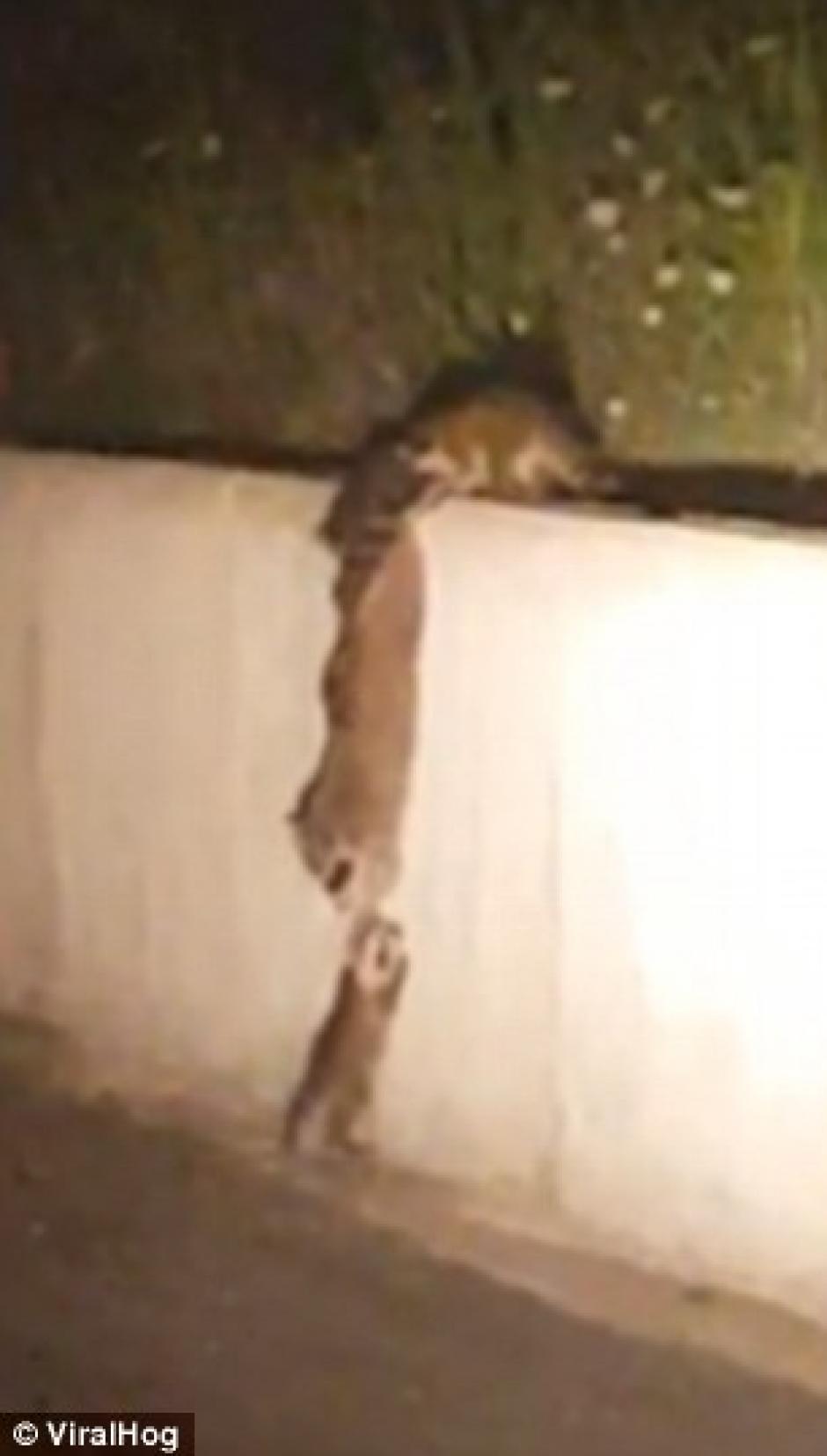 Un video de una madre mapache ayudando a su cría ha conmovido a las redes. (Foto: dailymail)