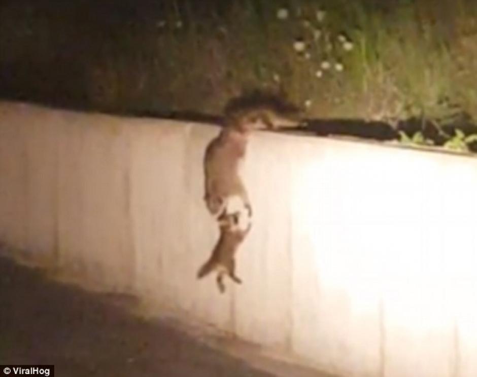 Una mamá mapache rescata a su bebé (Foto: dailymail)