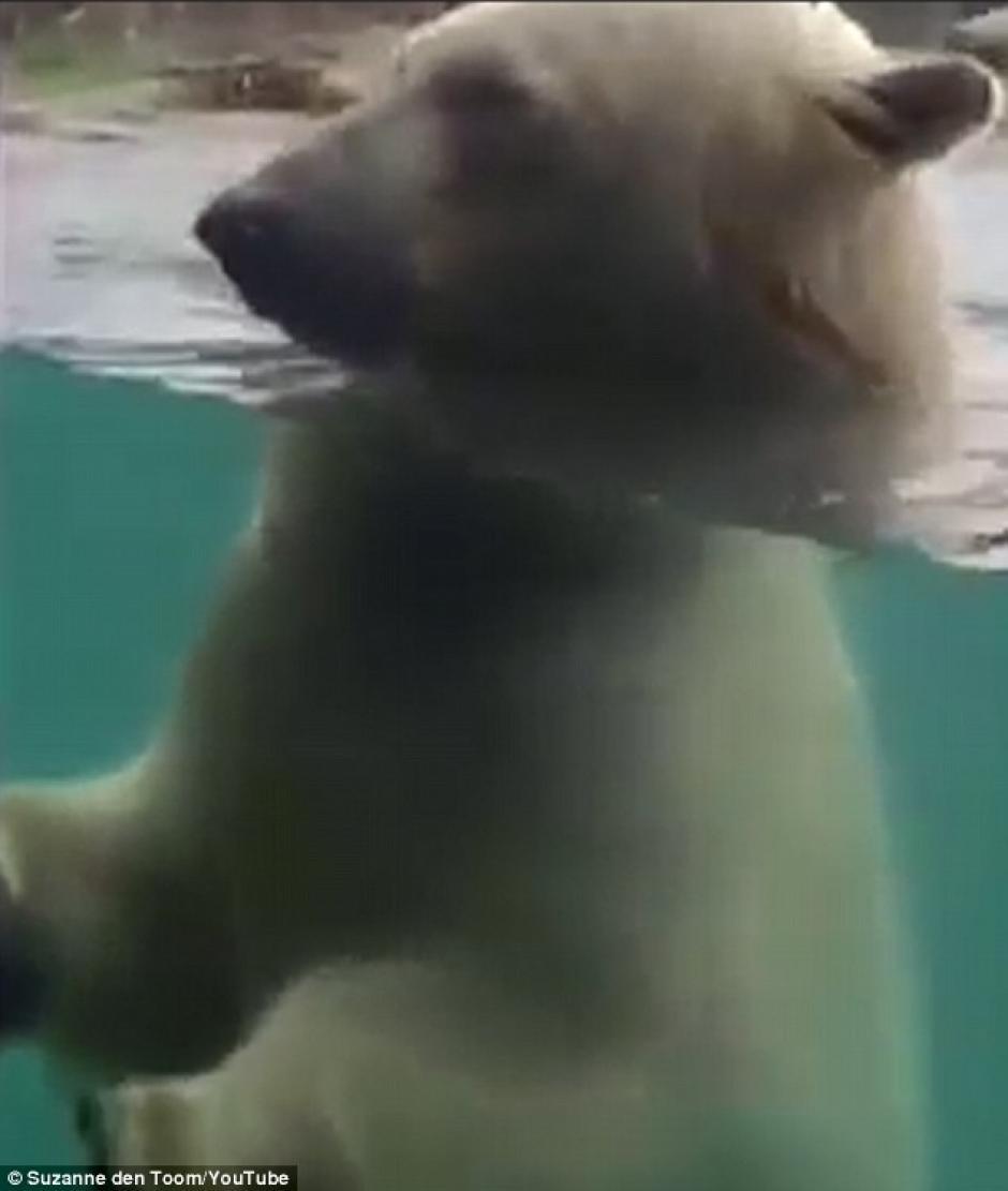 El oso mira fijamente al hombre que juega con él. (Foto: dailymail.co.uk)