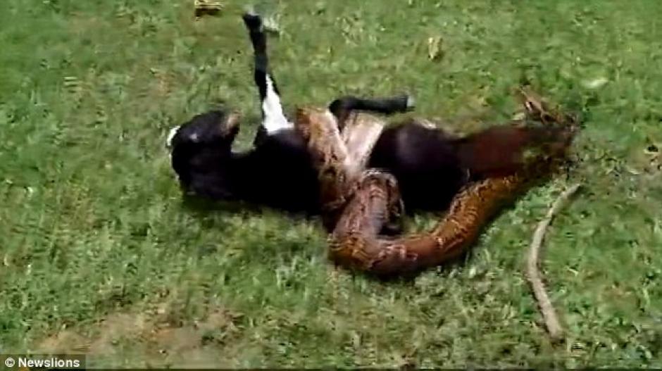 La cabra estuvo a punto de morir estrangulada por una pitón. (Foto: dailymail.co.uk)