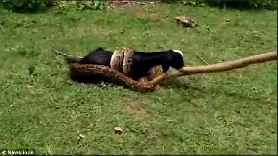 La pitón fue ahuyentada con palos y ramas. (Foto: dailymail.co.uk)
