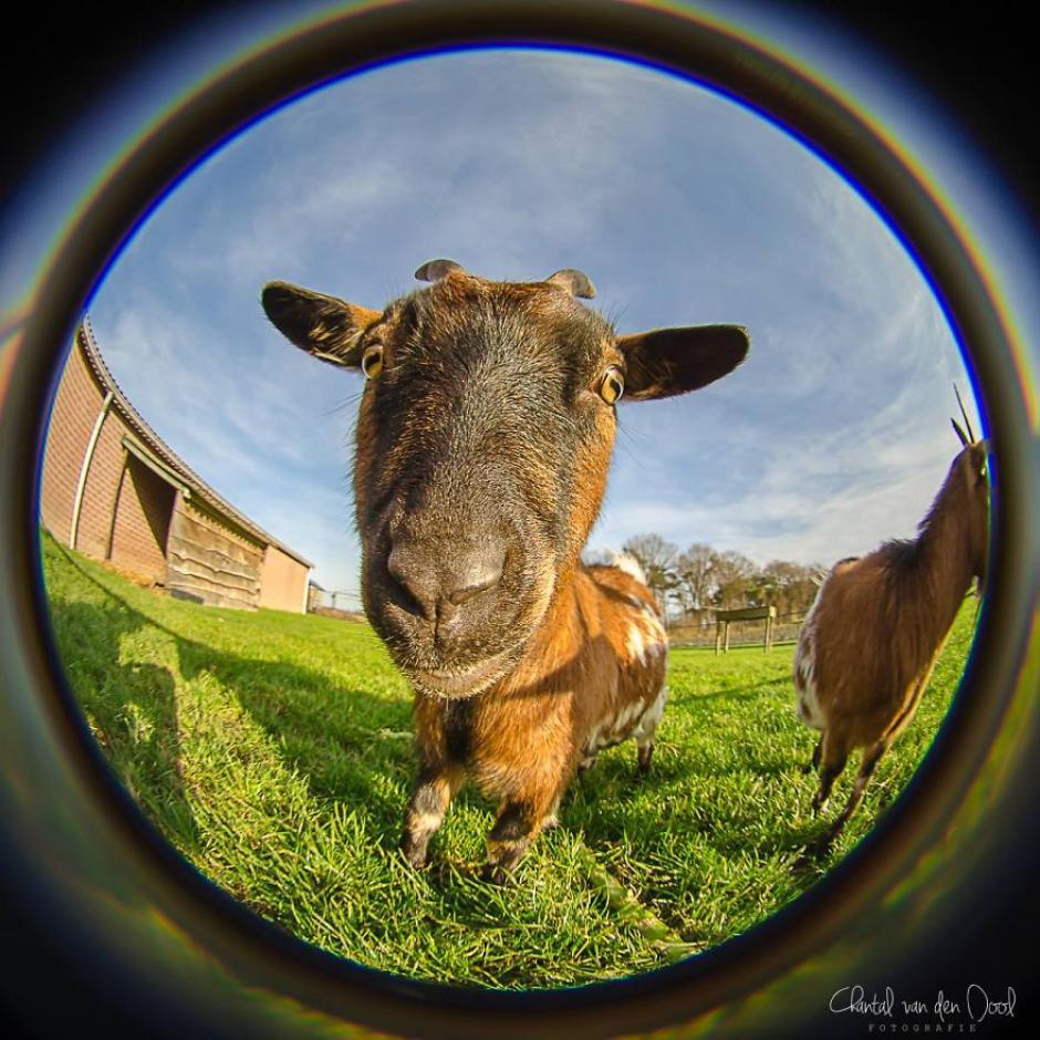 Una cabra vista muy de cerca, el efecto de la perspectiva distorsionada se crea gracias al lente. (Foto: Chantal van den Dool)