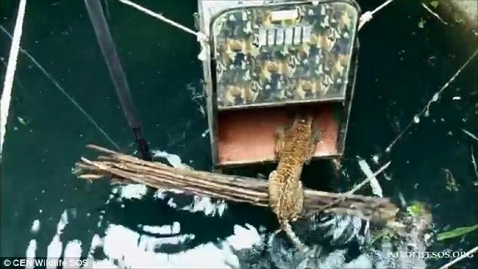 El leopardo tardó un par de horas en entrar a la jaula. (Foto: dailymail.co.uk)