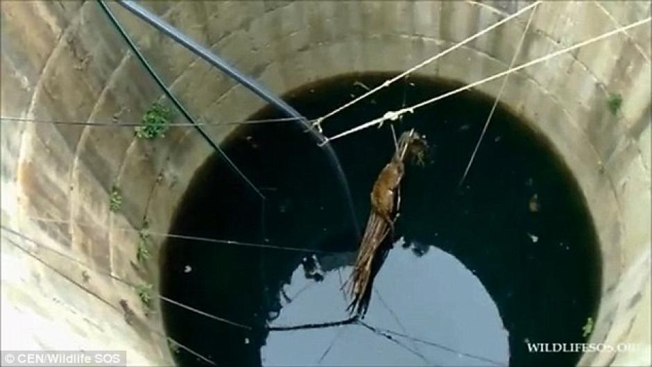 El animal estuvo a punto de morir ahogado en un pozo. (Foto: dailymail.co.uk)