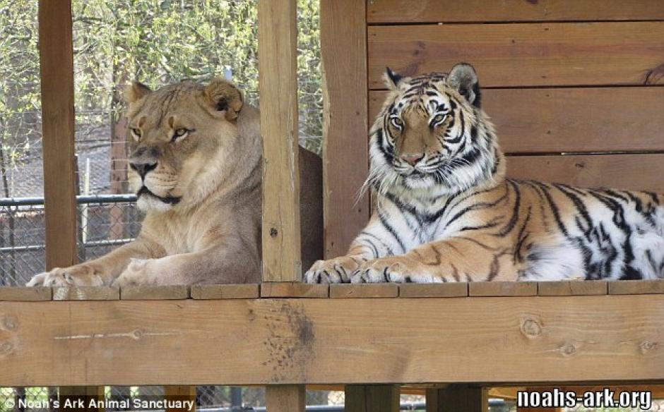 La muerte de Leo, el león, afectó al grupo. (Foto: dailymail.co.uk)