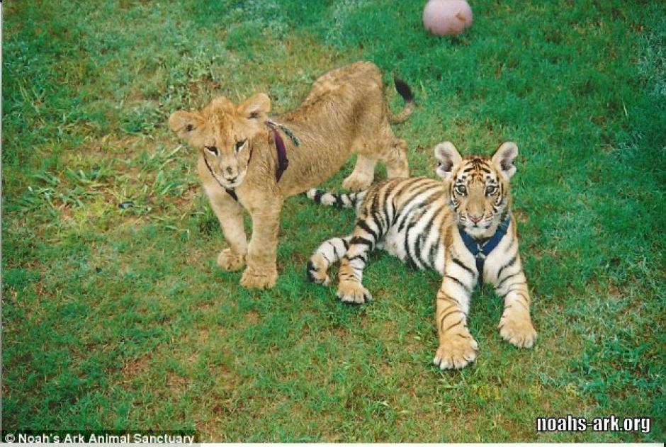 Una foto de los animales cuando eran cachorros. (Foto: dailymail.co.uk)