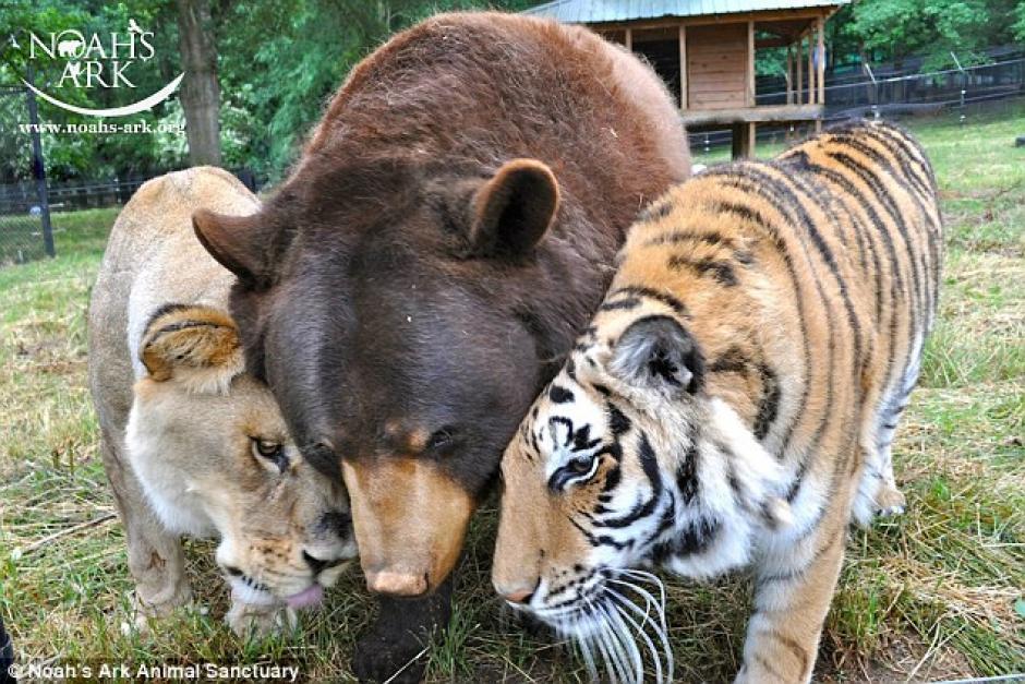 Un oso un tigre y un león fueron amigos hasta que la muerte los separó. (Foto: dailymail.co.uk)