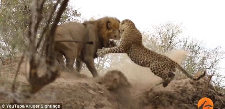 El león intenta imponerse, pero el leopardo logra actuar con rapidez. (Imagen: captura de YouTube)