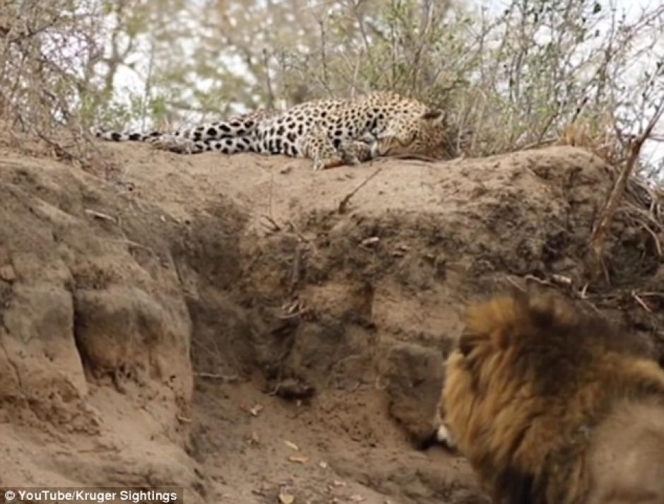 El leopardo no sabía que se encontraba en peligro. (Imagen: captura de YouTube)