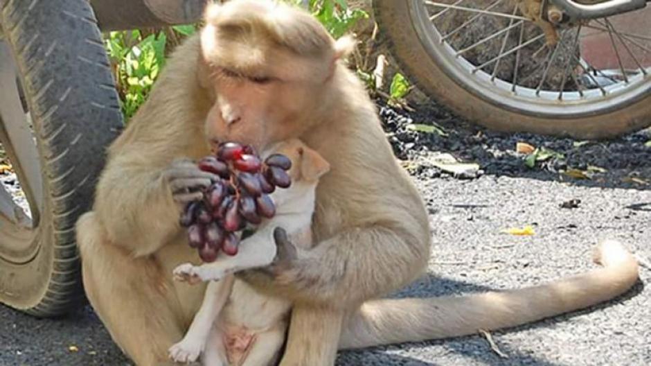 Varias imágenes muestran al perrito en los brazos del mono. (Foto: infobae)